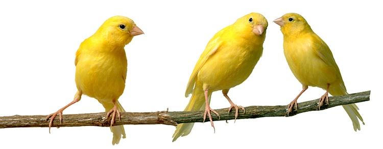 canary-750x293.jpg